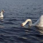 天鹅 — 图库照片