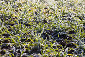 Frost in young wheat. — Stock Photo