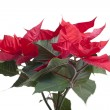 Poinsettia. — Foto de Stock