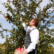 Stock Photo: Man picking apples.