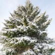 Snowy fir. — Stock Photo