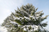 Snowy firs. — Stock Photo