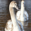 Stock Photo: Swans.