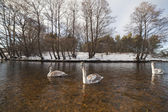 Swans in winter. — Stock Photo
