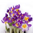 Purple Crocus in snow — Stock Photo