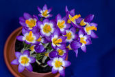 Early spring Crocus in the pot — Stok fotoğraf