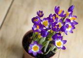 крокус цветок в горшке — Стоковое фото