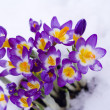 Royalty-Free Stock Photo: Crocus in snow