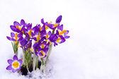 Crocus in snow — Stock Photo