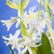 White hyacinth for Easter — Stock Photo #9889469