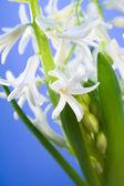 Hiacynt biały kwiat — Zdjęcie stockowe