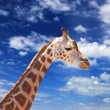 Stock Photo: Girafffe agaisnt sky background