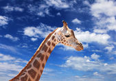 Girafffe agaisnt sky pozadí — Stock fotografie
