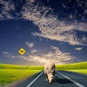 Rino walking along the road — Stock Photo