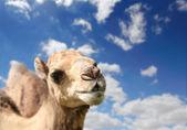 Camel head agaisnt sky background — Stock Photo