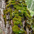 Moss on a tree trunk — Stock Photo