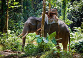 Thai Elephant — Stock Photo
