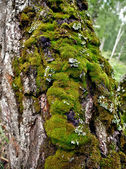 Moss on a tree trunk — 图库照片