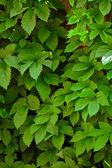Fond de mur de feuilles vertes — Photo