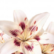 Stock Photo: Bright white lilys