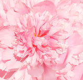 Flower of peony — Stock Photo