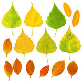 Leafs of a birch and barberry — Stock Photo