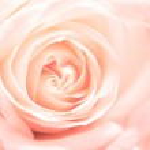 Softness pink rose — Stock Photo
