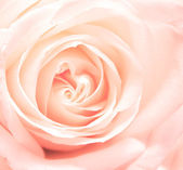 Softness pink rose — Stock Photo