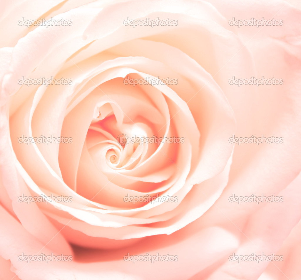 Softness pink rose. Square photo — Stock Photo #8487601