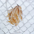 Winter leaf on the fence. - Foto Stock