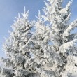 Group of snowly trees. — Stock Photo