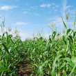 Green land of corn. — Stock Photo