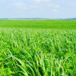 Stock Photo: Field of green wheat.