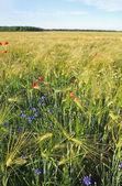 Barley on the land. — Stock Photo