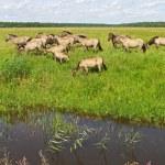 Group of wild horses. — Stock Photo