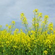 Stock Photo: Canolfield.