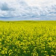 Stock Photo: Yellow canola field.