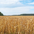 Ready wheat`s field. — Stock Photo