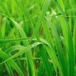 Green wheat. — Stock Photo #10521435