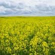 Beautiful canola field. — Stock Photo
