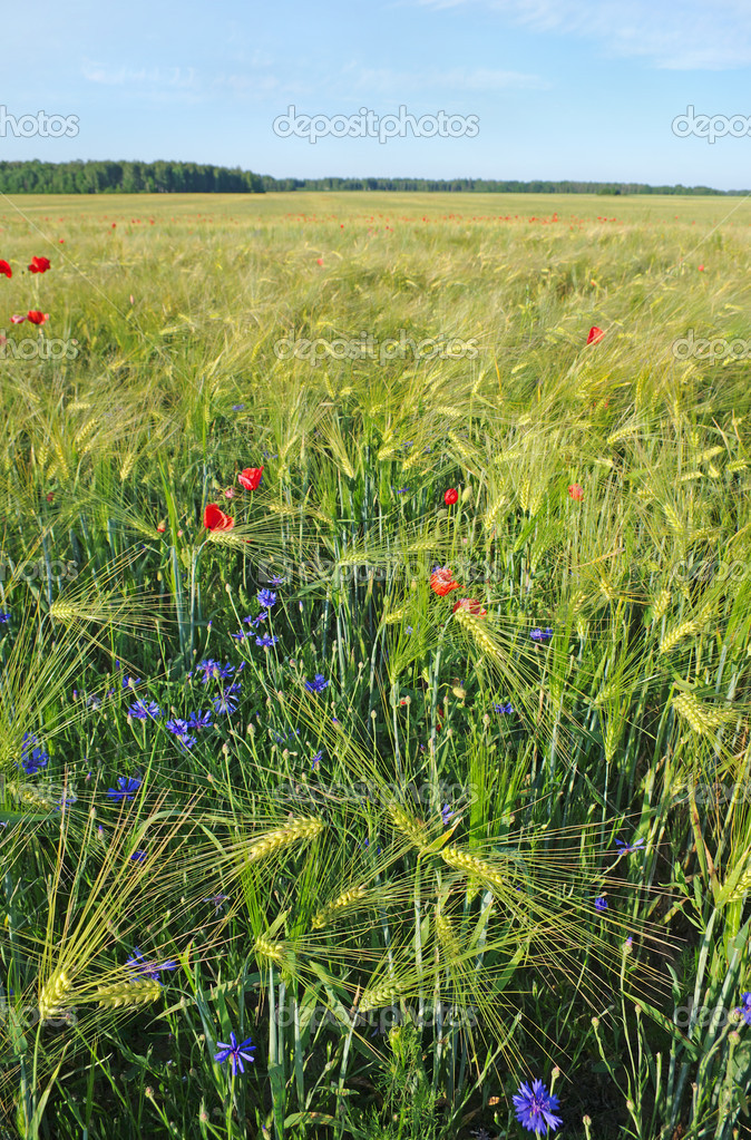 Barley with poppies and cornflowers, vertical photo. — Stock Photo #10521314