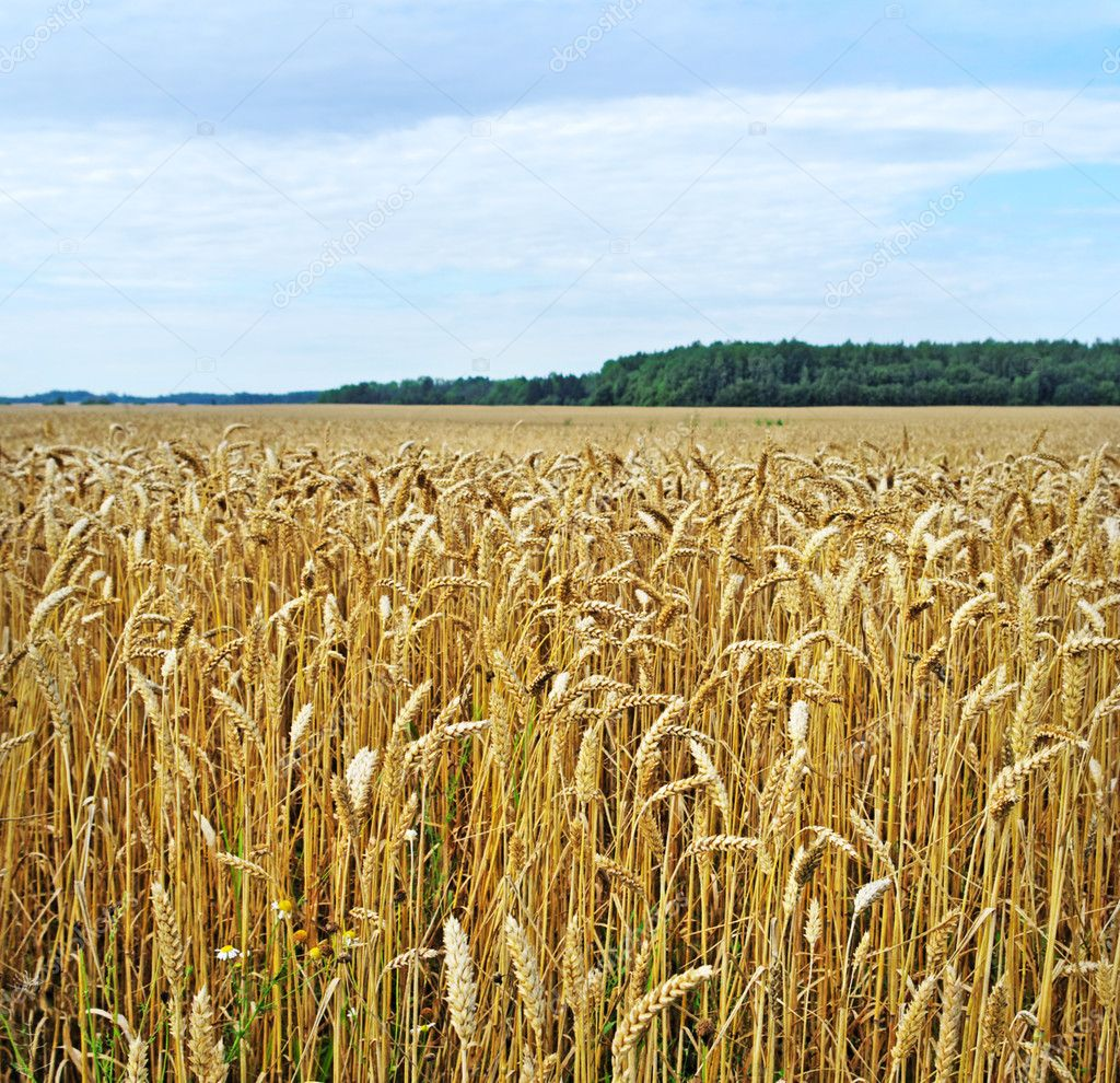 Field with ready wheat, square format. — Stock Photo #10521375