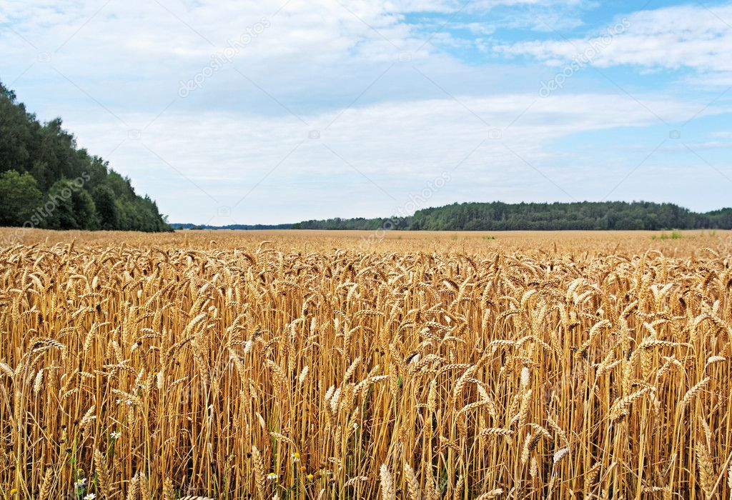 Ready wheat field and blue sky.  Stock Photo #10521384