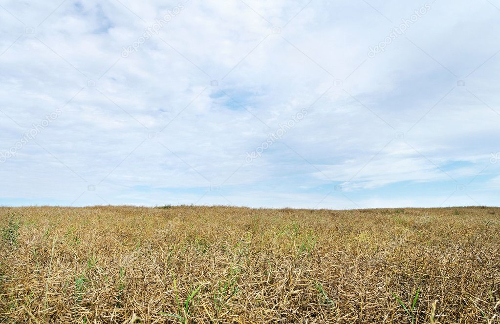 Blue sky and canola field. — Stock Photo #10521402