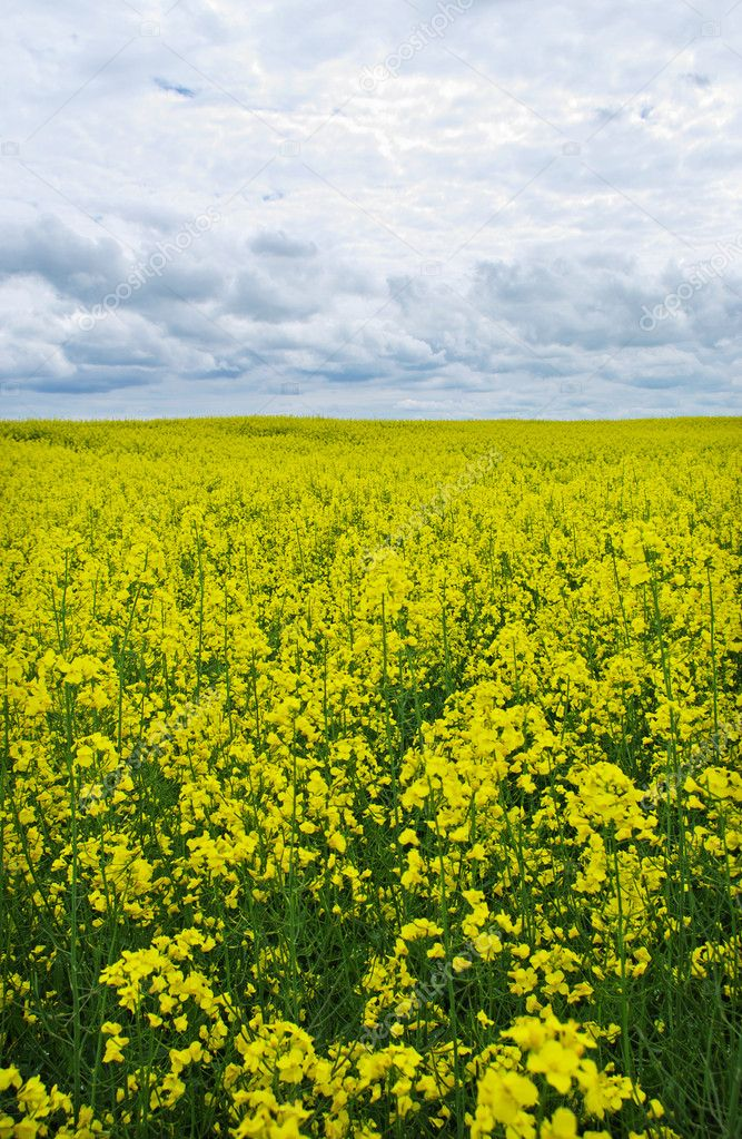 Beautiful canola field and clouds, vertical photo. — Stock Photo #10521453