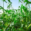 Stock Photo: Growing green corns.