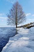 Tree on the coastline. — Stock Photo