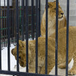 Young lions in hutch — Stock Photo