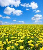 Yellow dandelion — Stock Photo