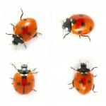 ������, ������: Red ladybug